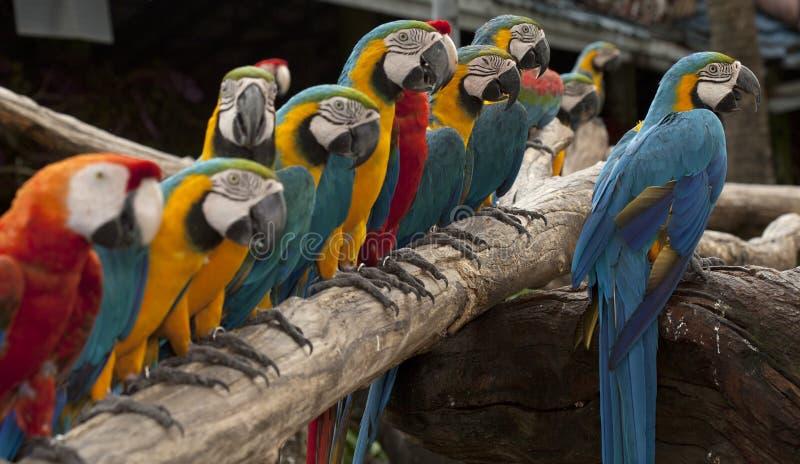 De opstelling van multi gekleurde papegaai stock foto