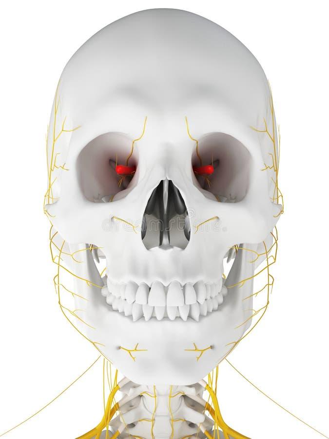 De optische zenuw stock illustratie