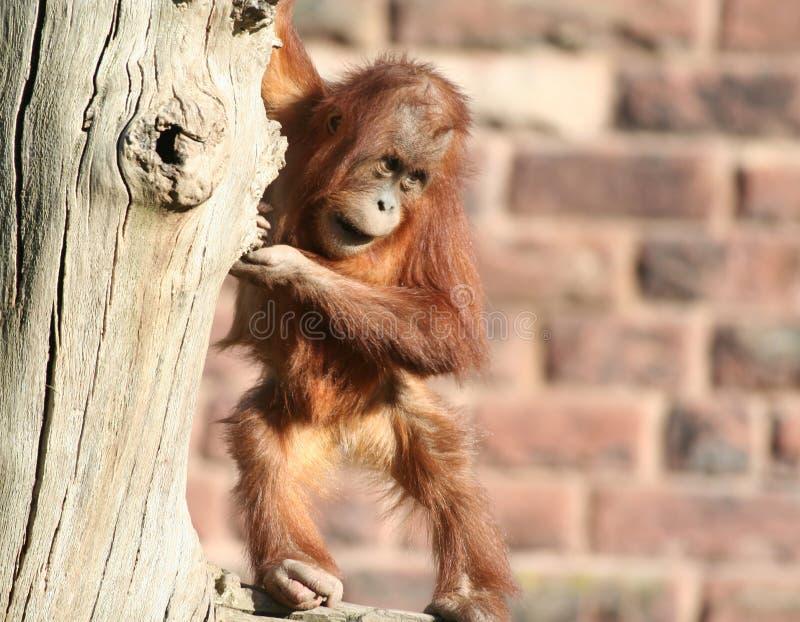 De orang-oetan van de baby utan in boom royalty-vrije stock afbeelding