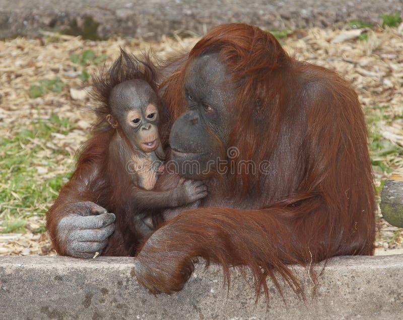 De Orangoetan en de moeder van de baby stock afbeeldingen
