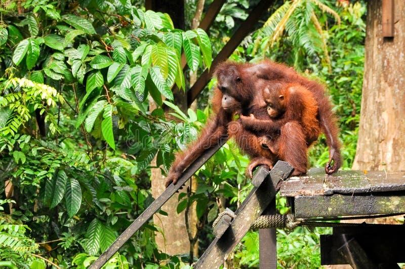 De Orangoetan en de Moeder van de baby royalty-vrije stock afbeelding