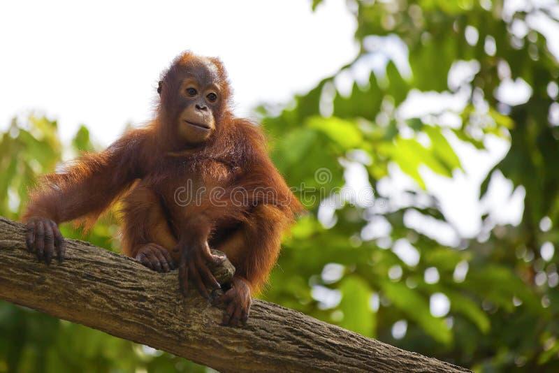 De Orangoetan van Borneo stock afbeelding