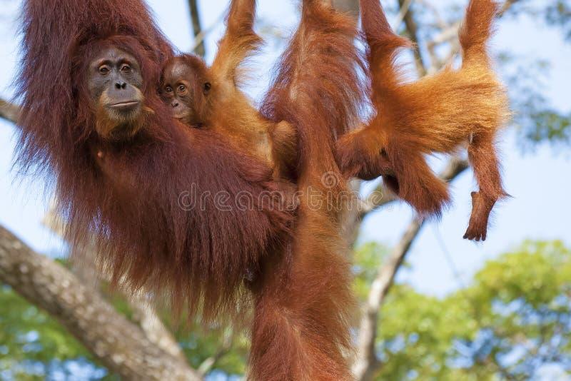 De Orangoetan van Borneo stock foto