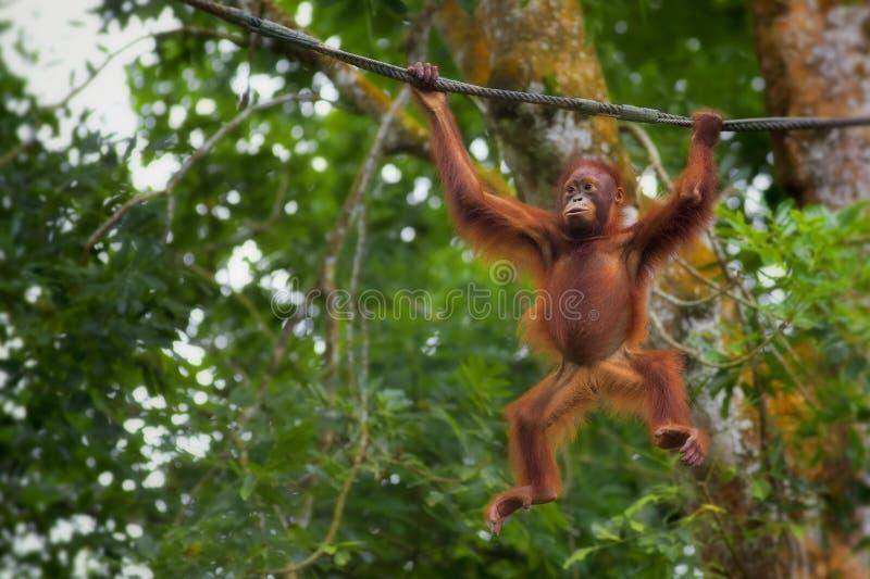 De Orangoetan van Borneo stock foto's
