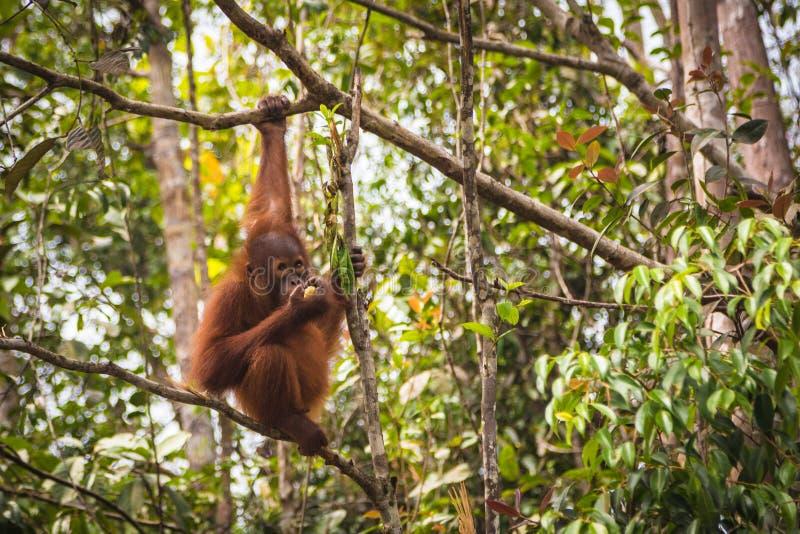De orangoetan van Borneo royalty-vrije stock afbeelding