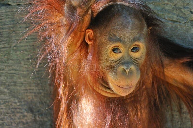 De Orangoetan van de baby stock foto