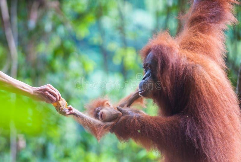 De orangoetan van de moeder en van de baby het voeden, Bukit Lawang, Sumatra royalty-vrije stock foto's
