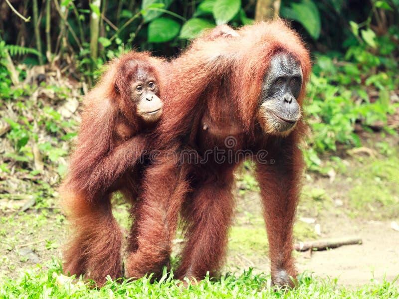 De orangoetan van Sumatrian stock afbeelding