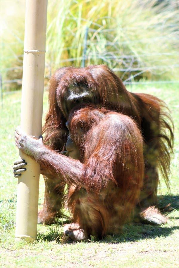 De Orangoetans van Bornean stock foto's