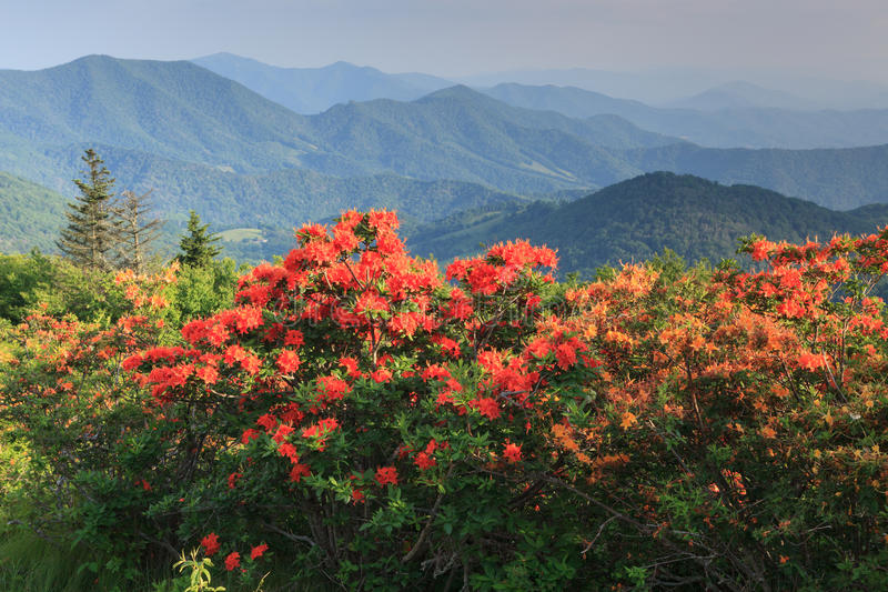 De oranje Azalea's Appalachian Blauw Ridge Mountains North Carolina van de Vlamvlam stock fotografie