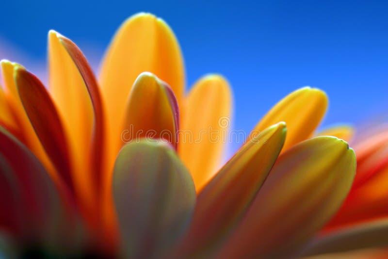 De oranje Blauwe Achtergrond van de Bloem stock foto's