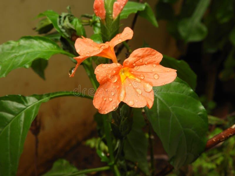 De oranje bloem van Crossandrainfundibuliformis met regendruppels royalty-vrije stock foto's