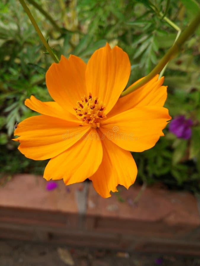 De oranje bloem van de zwavelkosmos stock afbeeldingen