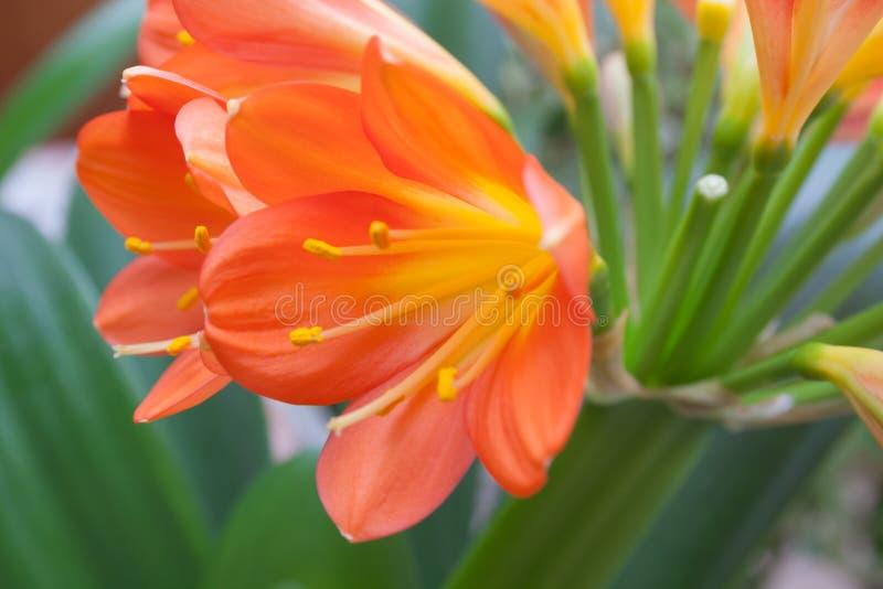 De oranje bloem van het cliviahuis royalty-vrije stock foto's