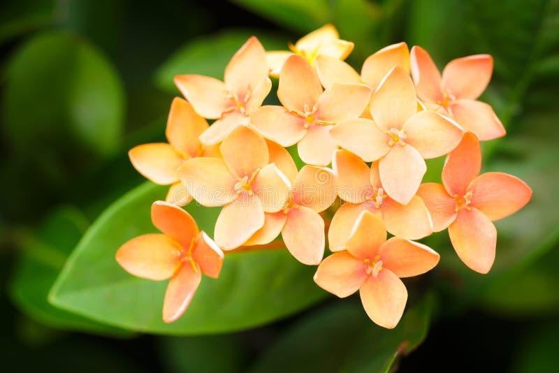 De oranje bloem van Ixora stock afbeeldingen