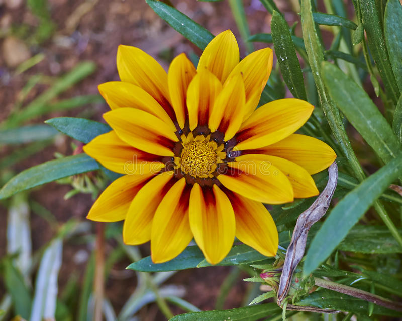 De oranje bloem van tijgergazania royalty-vrije stock foto