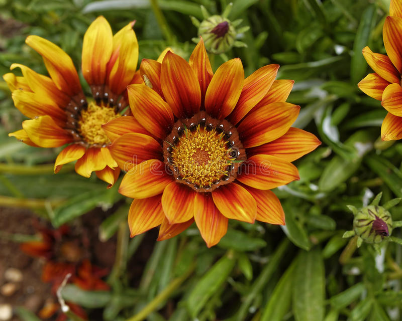 De oranje bloemen van tijgergazania royalty-vrije stock afbeeldingen