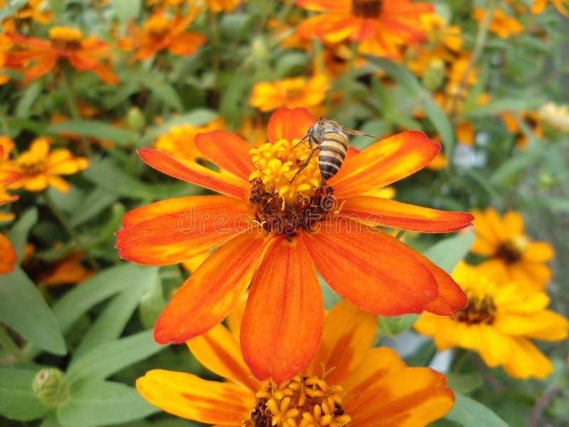 De oranje bloemen zijn bloeiend stock foto