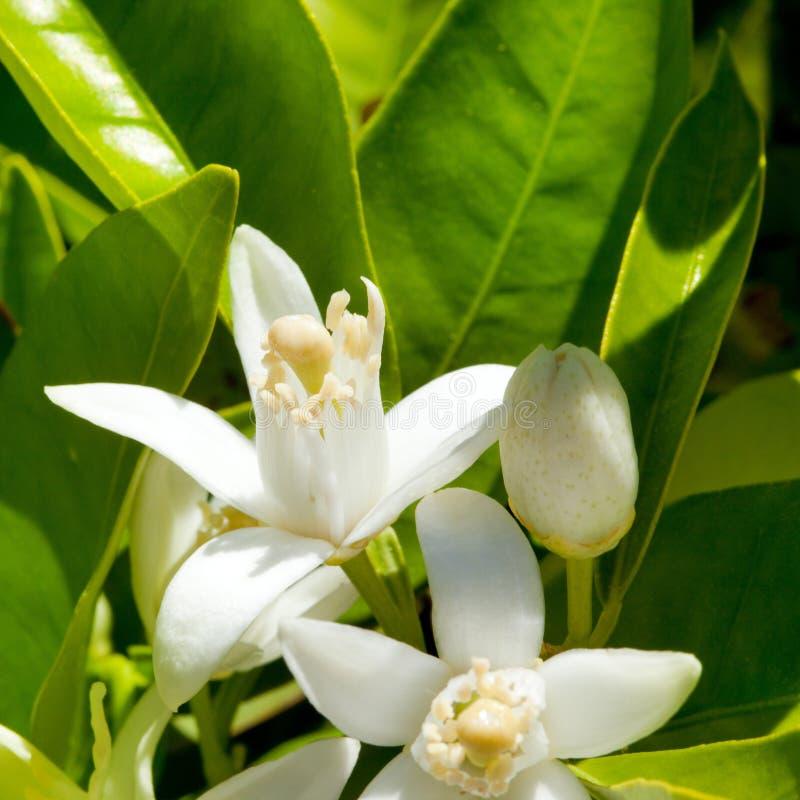 De oranje bloesem van de bloem in de lente in het bestuiven royalty-vrije stock fotografie