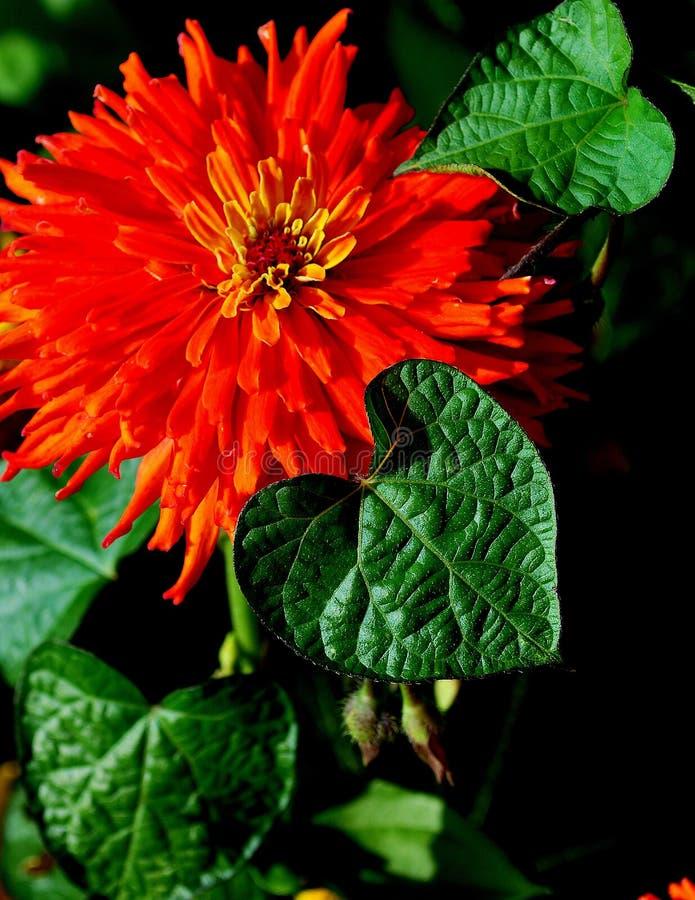 De oranje bloesem van Zinnia met hart vormde bladeren stock foto's