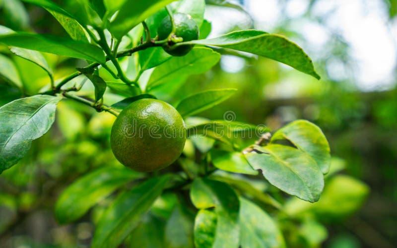 De oranje boom van Thunb van Citrusvruchtenjaponica royalty-vrije stock fotografie