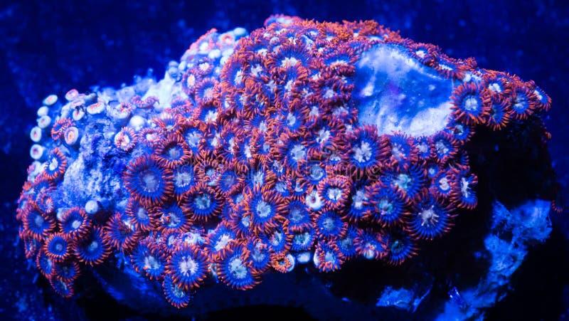 De oranje en Blauwe zachte koralen van Zoanthid stock afbeeldingen