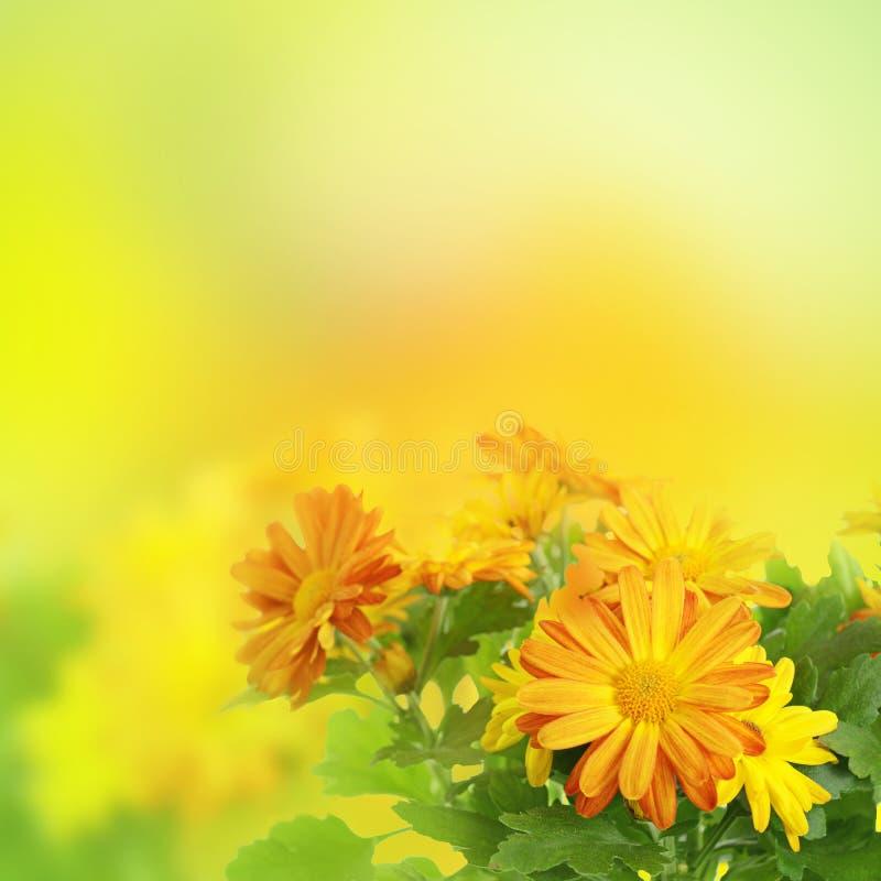 De bloemenachtergrond van de chrysant royalty-vrije stock foto