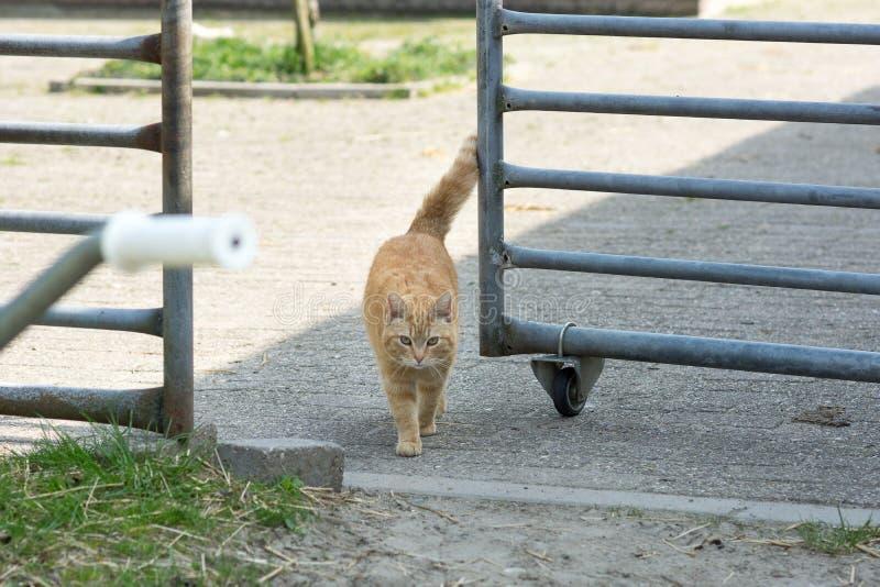 De oranje kat die van het gestreepte katlandbouwbedrijf door paardrooster lopen stock afbeeldingen