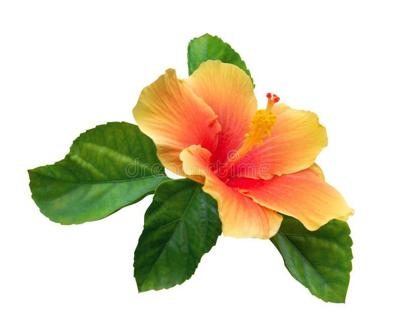 De oranje kleurenhibiscus bloeit met groene die bladeren op witte achtergrond, weg worden geïsoleerd royalty-vrije stock foto's