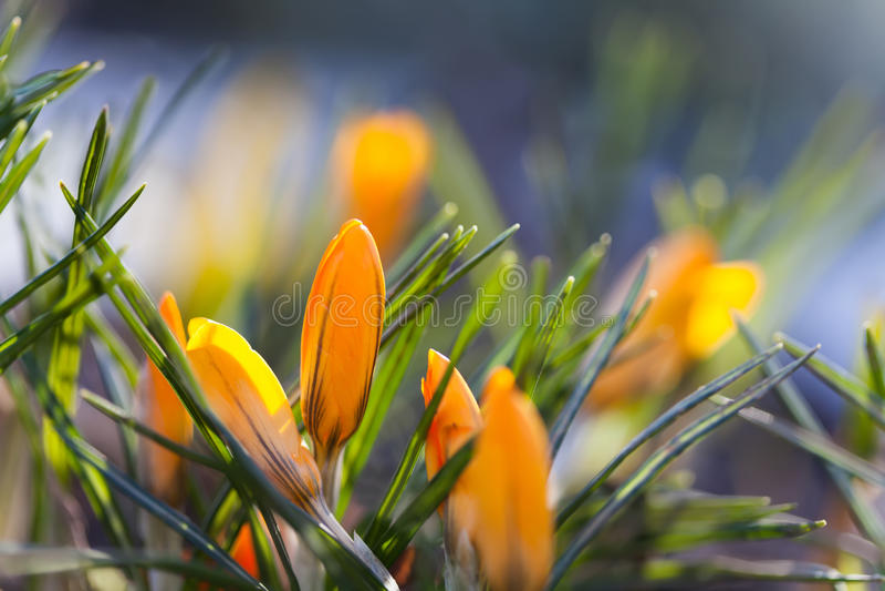 De oranje krokus bloeit macromening Het landschap van de de lentetijd Zachte en onduidelijk beeldachtergrond Ondiepe Diepte van G stock fotografie