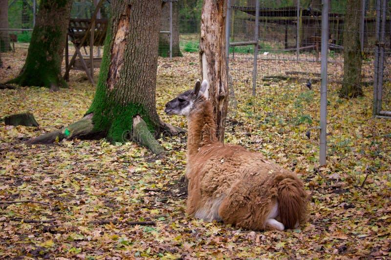 De oranje lama ligt op de gele bladeren groene boom op de rug royalty-vrije stock afbeeldingen