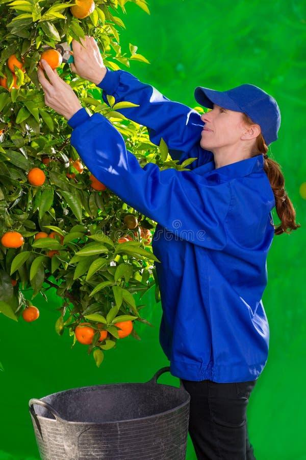 De oranje landbouwer die van de mandarijn vrouw verzamelen stock fotografie