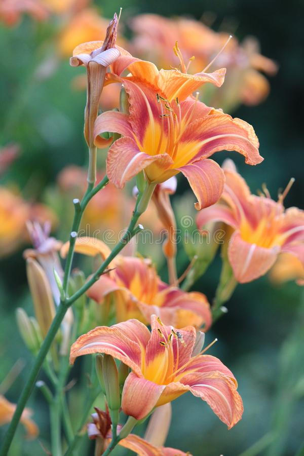 De oranje lelie bloeit portret stock afbeelding