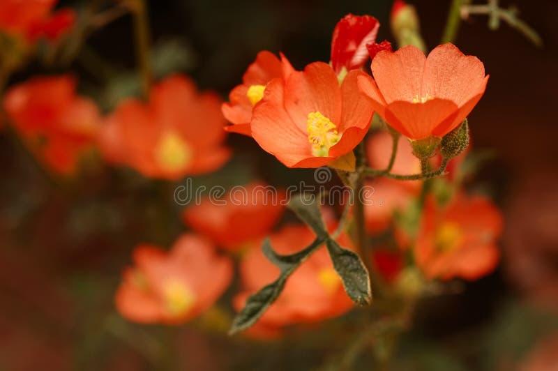 De oranje Malve van de Bol royalty-vrije stock afbeeldingen