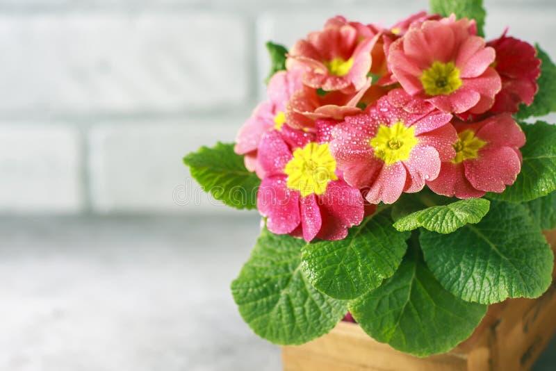 De oranje sleutelbloembloem van de Primula vulgaris hybride ingemaakte lente Macro De ruimte van het exemplaar stock afbeelding