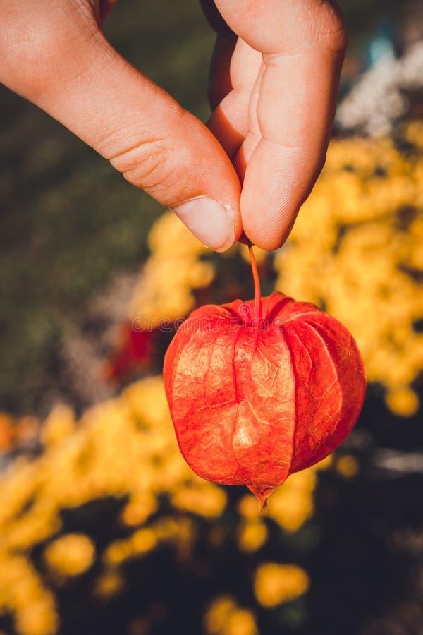 De oranje zaadpeulen van physalisalkekengi zijn ook genoemd geworden blaaskers, Chinese lantaarn, Japanse lantaarn, aardbei stock afbeelding