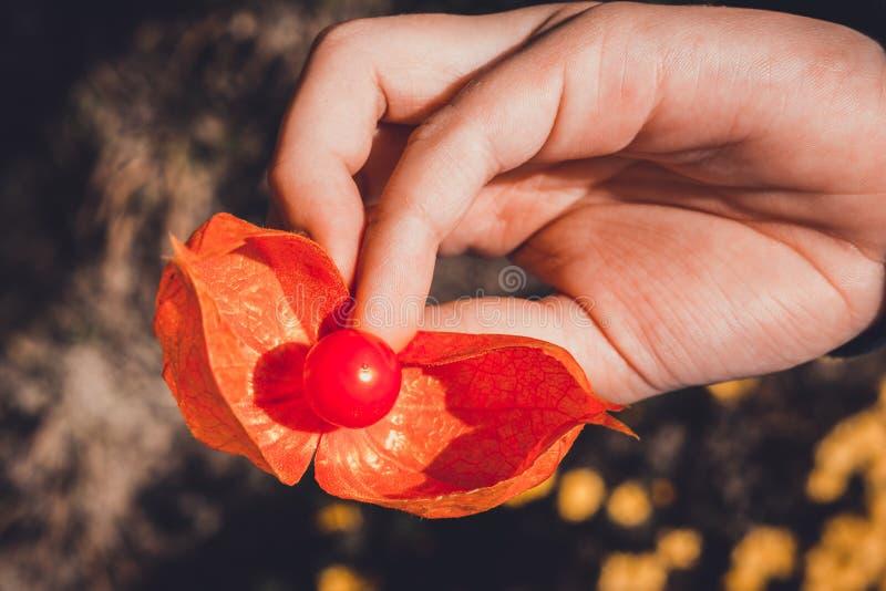 De oranje zaadpeulen van physalisalkekengi zijn ook genoemd geworden blaaskers, Chinese lantaarn, Japanse lantaarn, aardbei royalty-vrije stock afbeelding
