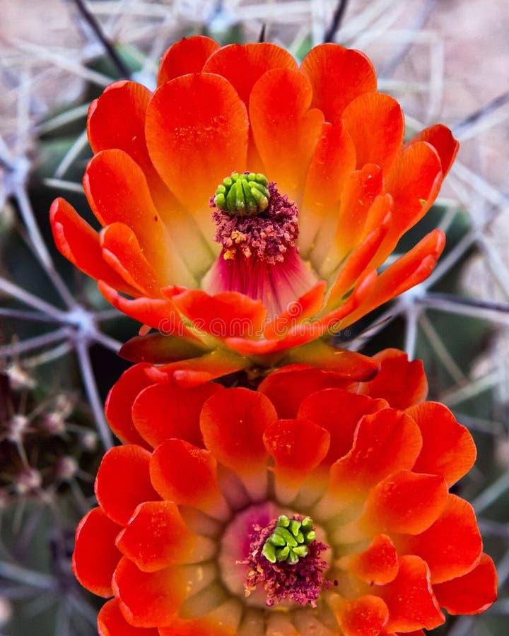 Bloeiende cactusbloem royalty-vrije stock afbeelding