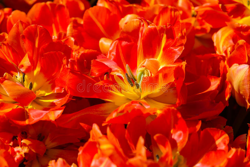 De oranjerode tulp bloeit achtergrondtextuur stock foto's