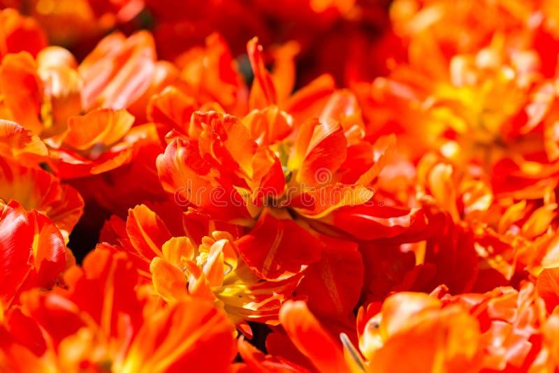 De oranjerode tulp bloeit achtergrondtextuur stock foto