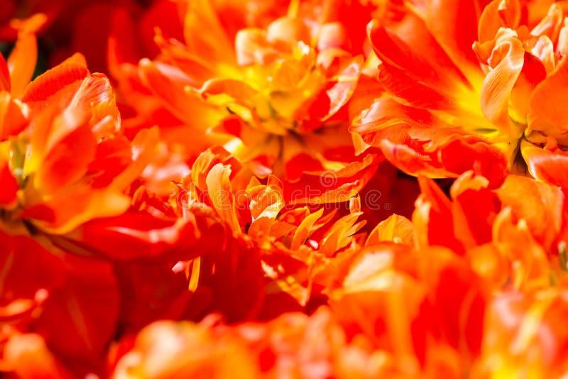 De oranjerode tulp bloeit achtergrondtextuur royalty-vrije stock afbeeldingen