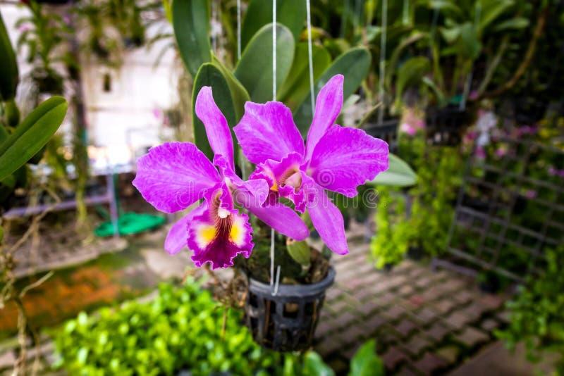 De orchideeën, orchideeënpurple, orchideeënpurple wordt beschouwd als de koningin o stock fotografie