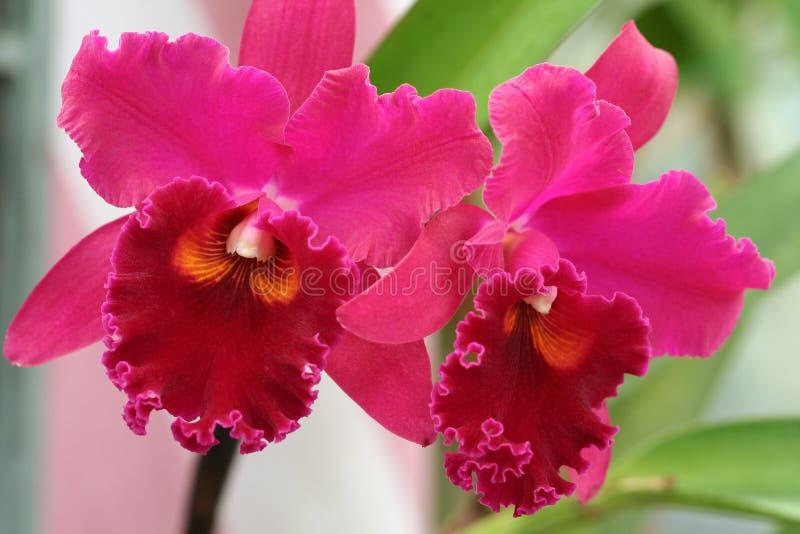 De Orchideeën van Cattleya royalty-vrije stock foto