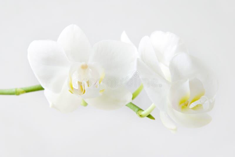 De orchidee royalty-vrije stock foto's