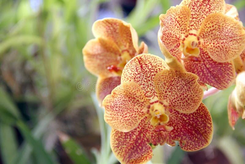 De orchidee bloeit gele rode gestippelde sinaasappel stock afbeeldingen