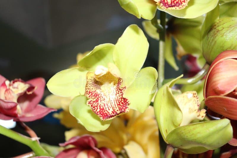 De orchidee bloeit Natuurlijk noordoosten zeven zuster India van schoonheidsgangtok Sikkim stock foto's