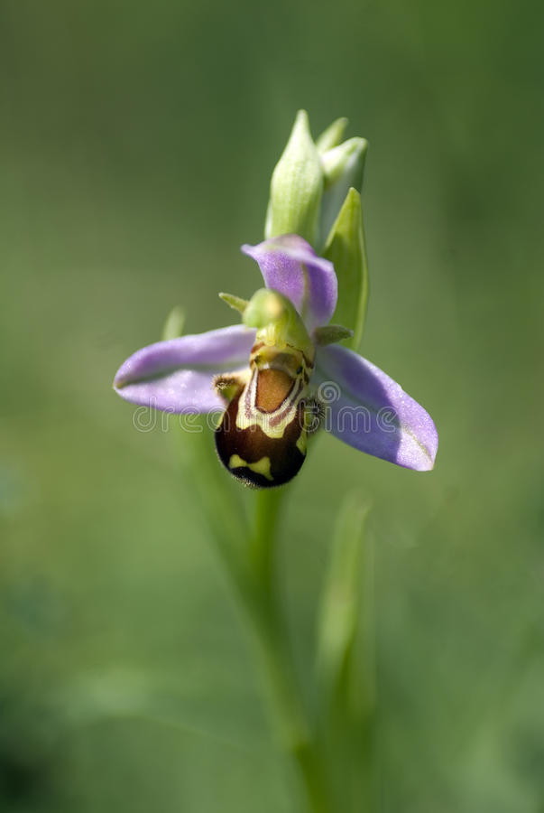 De Orchidee van de bij royalty-vrije stock afbeelding