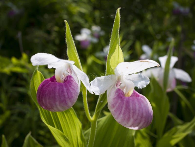 De orchidee van de damepantoffel royalty-vrije stock fotografie