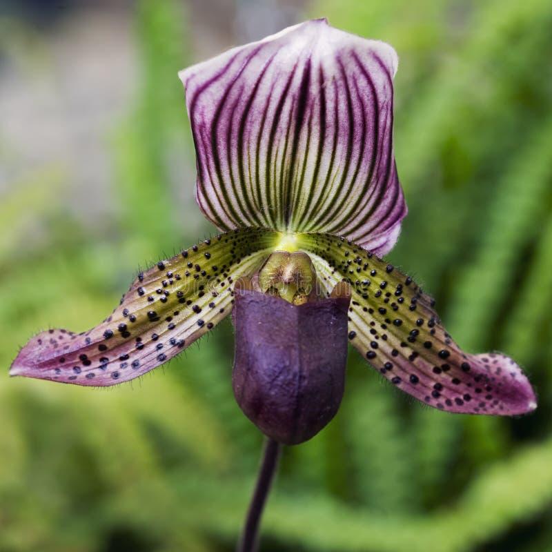 De Orchidee van de Pantoffel van de dame stock foto