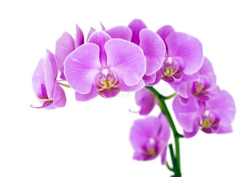 De Orchidee van de schoonheid royalty-vrije stock foto